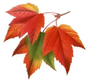 vintage-printable-maple-leaves-2-graphicsfairy